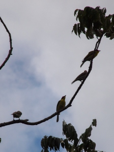 Yellow sunbirds on the tree tops in the rainforest