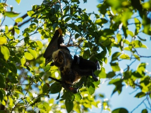 A spectacled flying fox and her young hanging from a tree during the day