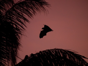 A flying fox in the evening