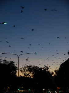 The flying foxes at night