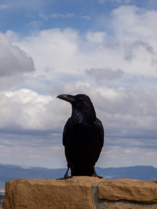 A large raven