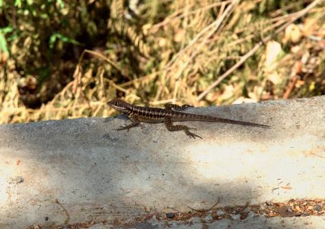 A friendly little lizard.
