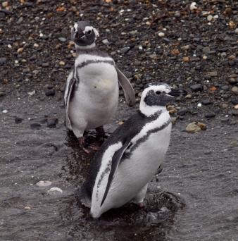 Penguins near Ushuaia
