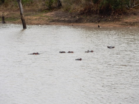 Hippos in the water.