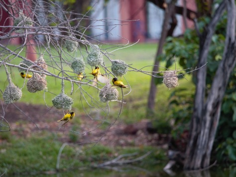 Southern masked weavers flying around their nests.