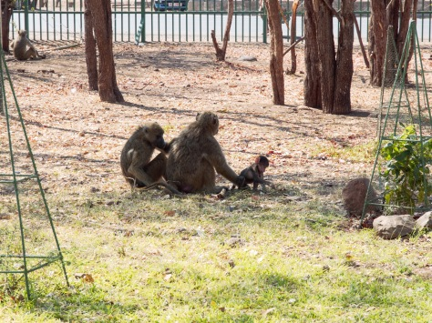 Baboons near the hotel.