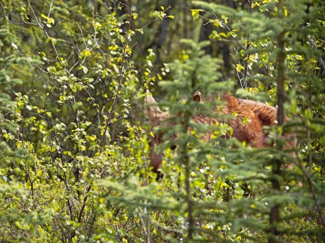 A baby moose
