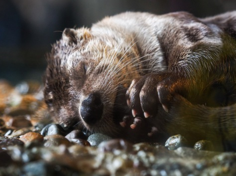Adorable river otter napping while sucking its tail.