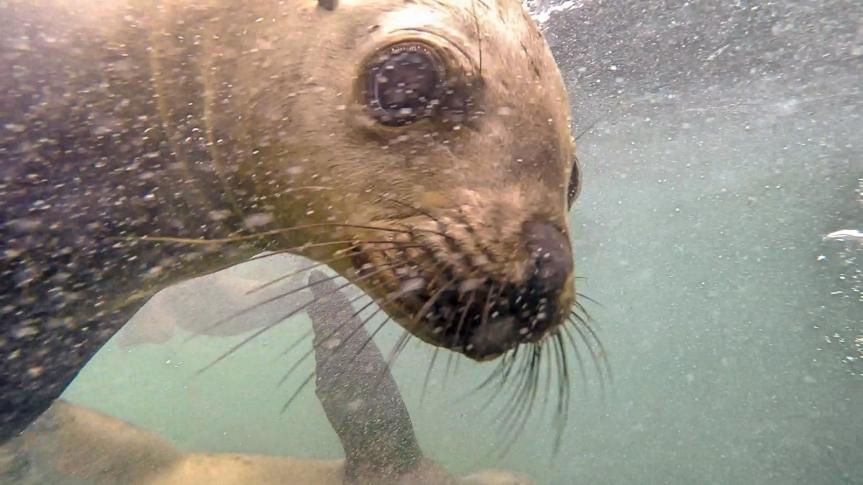 Palomino Sea LionSwim